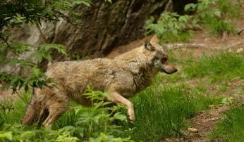 Wolf (©  Aaldrik Pot)