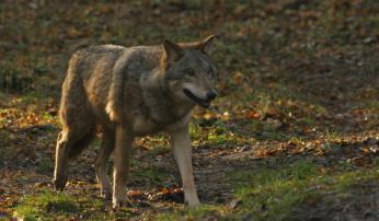 Europese grijze wolf