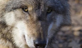 Wolf Foto: Saxifraga Mark Zekhuis