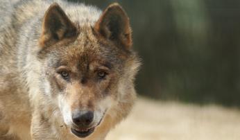 Wolf, foto: Tara Busser