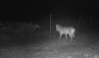 Effectieve afrasteringsmaatregelen weren Veluwse wolf