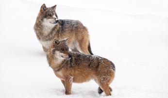 Wolf, foto Bob Luijks
