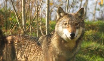 Wolf Foto Leo Linnartz