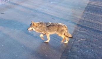 De op 13 februari 2018 waargenomen wolf in Twente, op korte afstand gefotografeerd vanuit een voertuig.