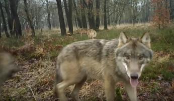 Foto: Hans Hasper en Raya Strikwerda, Wolvenmeldpunt Zoogdiervereniging