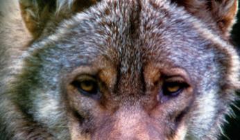 Boek: De Wolf Terug Uitgeverij Kosmos