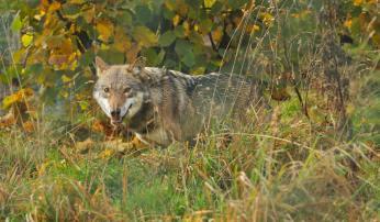 Wolf, foto: Leo Linnartz