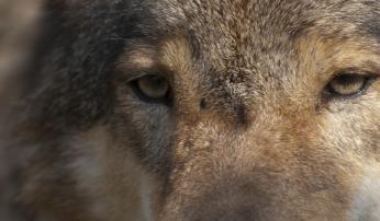 Wolf © Dick J.C. Klees / Studio Wolverine