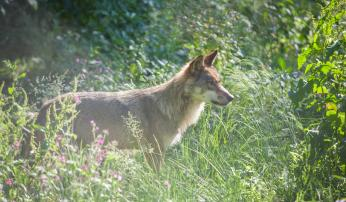 Europese grijze wolf. Foto: Karsten Reiniers