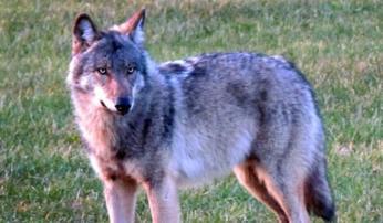 Wolf Foto: Martijn Schneider