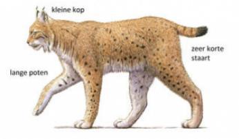 De lynx in de Roofdierenapp