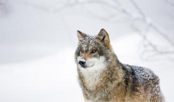 Een wolf Foto Bob Luijks