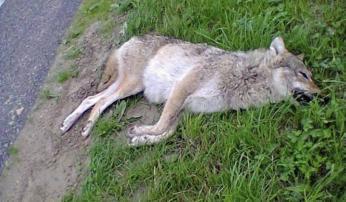 Wolf Luttelgeest Foto J. van der Linde