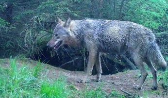 Wolf Midden-Drenthe, foto: Staatsbosbeheer
