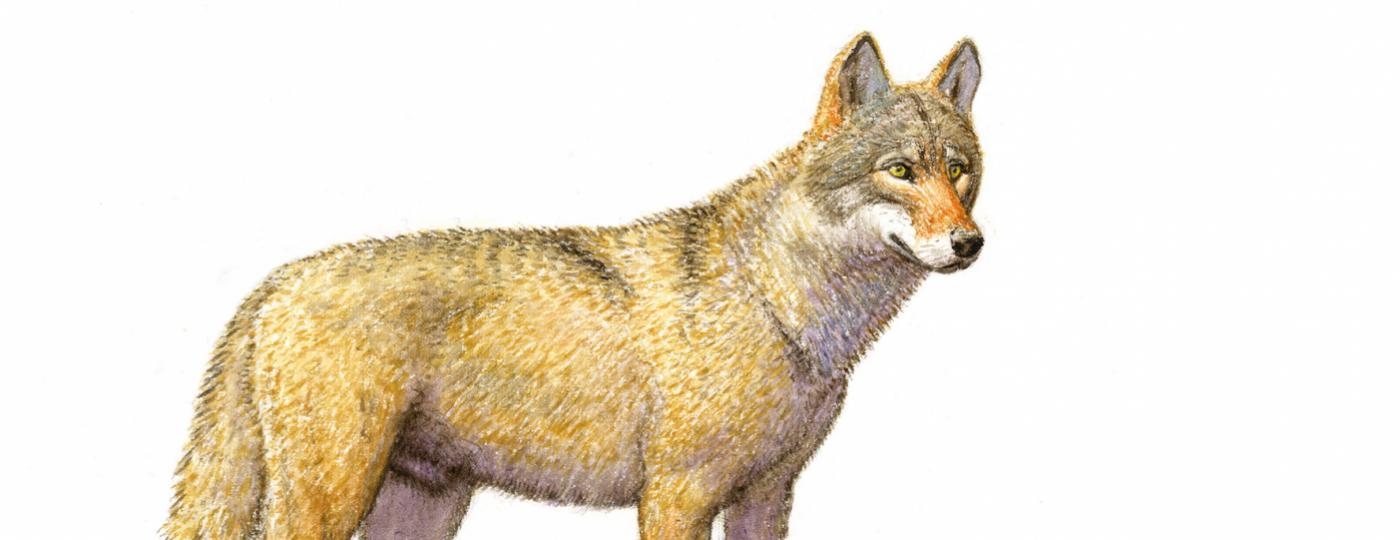 Wolf Tekening: Jeroen Helmer / ARK Natuurontwikkeling