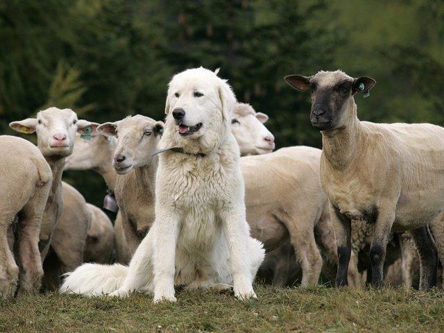 Bescherming schapen met kuddewaakhonden