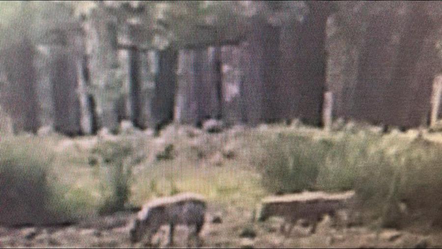 Jonge wolven op de Veluwe (Bron: Provincie Gelderland)