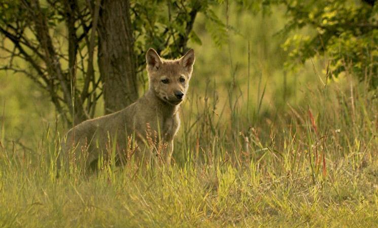 Jonge wolf. Foto: Sebastian Koerner