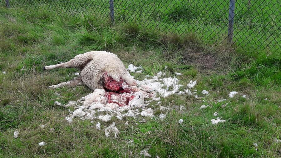 Gedood schaap in Groningen, augustus 2017