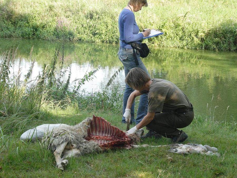 Onderzoek aan dood schaap Foto leo Linnartz
