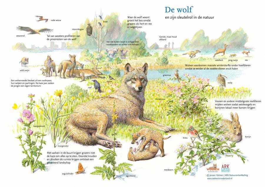 Sleutelrol van de wolf in de natuur Tekening Jeroen Helmer / ARK Natuurontwikkeling