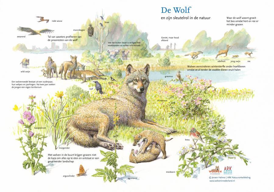 De sleutelrol van de wolf in de natuur.