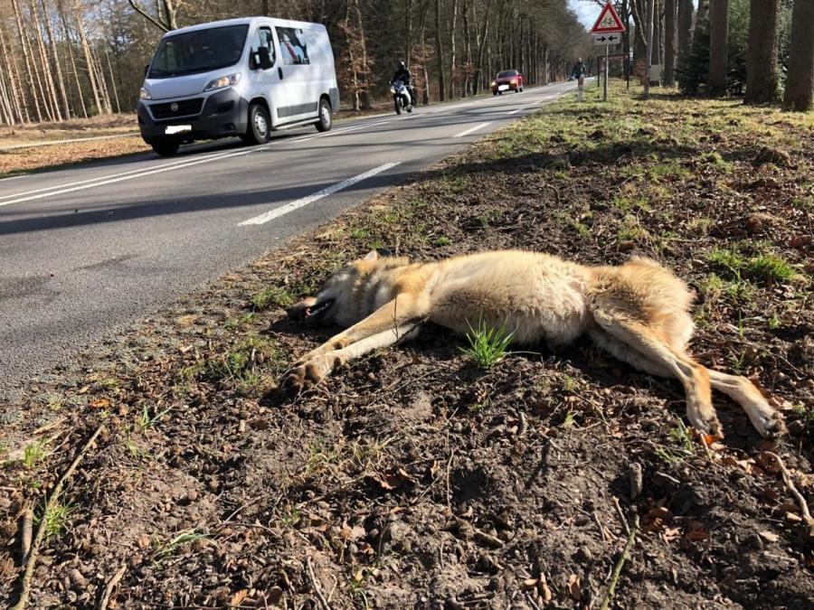 Wolf aangereden op N224 bij Ede. Foto: Provincie Gelderland