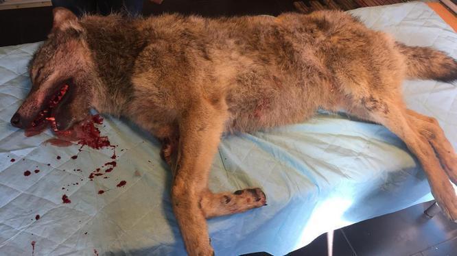 De doodgevonden wolf, Drenthe 2017